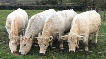 Famous Kerry quad calves sold at Gortatlea Mart last night