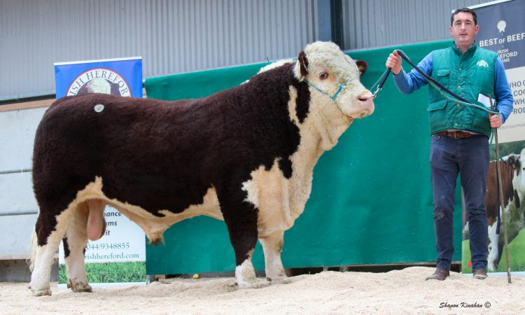 Top price of €4,600 at Irish Hereford Premier Sale