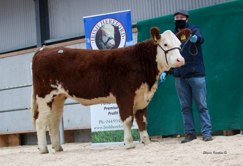 Image source: Shanon Kinahan / Irish Hereford Breed Society