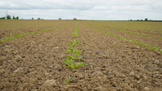 CROPS WATCH: The new beet on the block is 'smart'