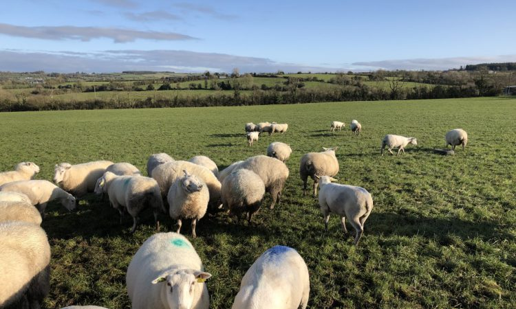 Sheep grassland management: Setting up the farm for next spring
