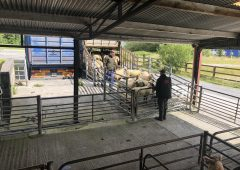 Sheep trade: 'Deals of up to €5.35-5.40/kg being achieved for lambs'