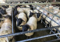 Sheep marts: Store lambs catch the eye once again