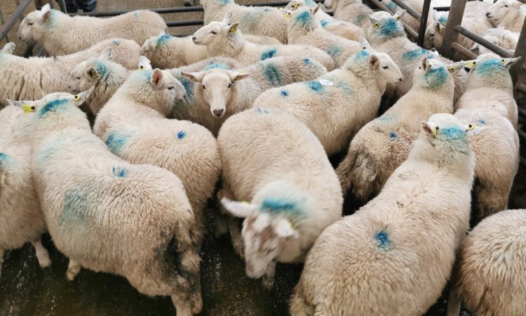 Sheep marts: Improved trade for finished lambs