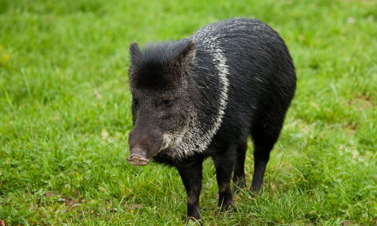 3 more cases of African swine fever in German wild boars