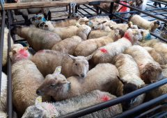 Sheep marts: No let up in the trade, as finished and store lambs continue to trade well