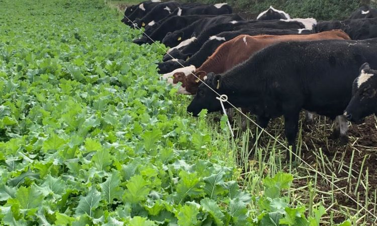 Utilising high-energy forage crop for out-wintering young stock