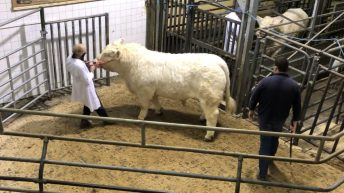 Roaring trade for Charolais bulls as sale tops €7,500