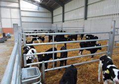 回顾小牛饲养中需要考虑的因素