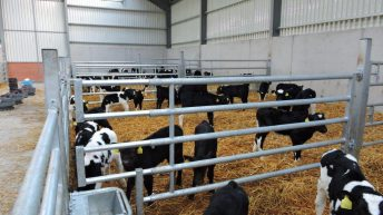 Reviewing the factors to consider in calf housing