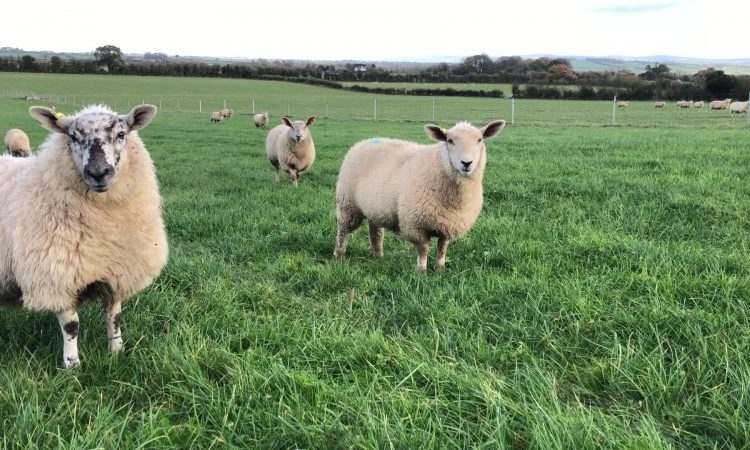 What sheep do I need to dose for worms?