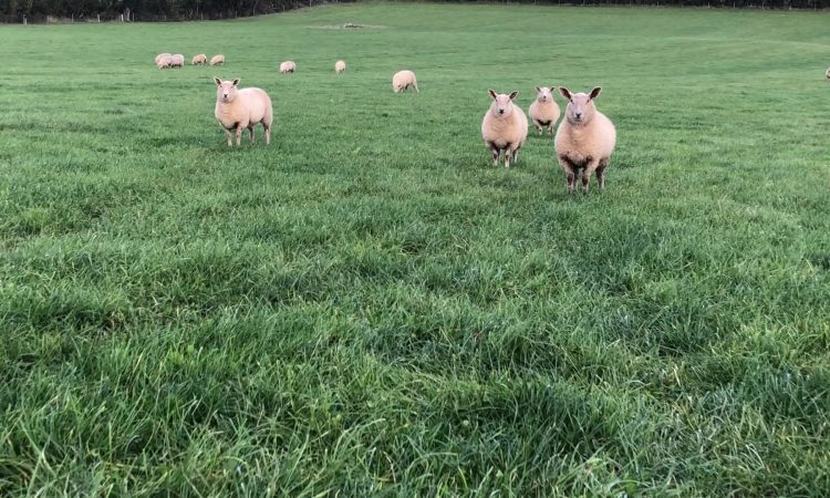 Sheep trade: Top deals of up to €5.60/kg being secured for lambs