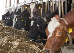 Management of lice on cattle over winter