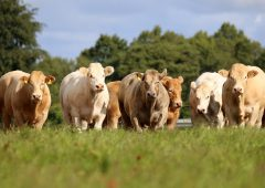 Reap the rewards of buying a Christmas cracker Charolais