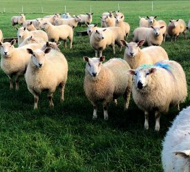 'Lamb prices hit €6.20/kg'