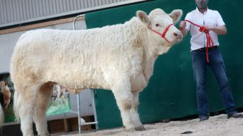 Elite Charolais Heifer sale creates history