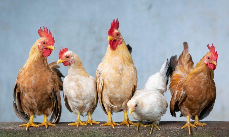 Avian Influenza Prevention Zone declared in Great Britain