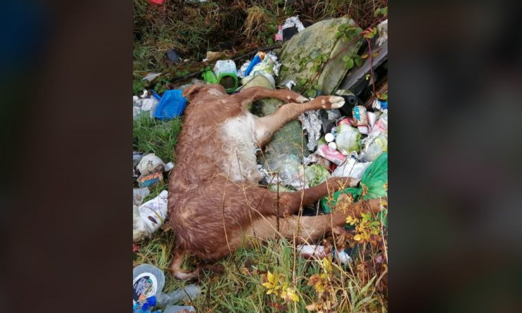 'Disheartening': Dead calf dumped with rubbish in Roscommon