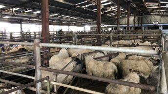 Tullow Mart: Heavy lambs top out at €128/head; stores a flying trade