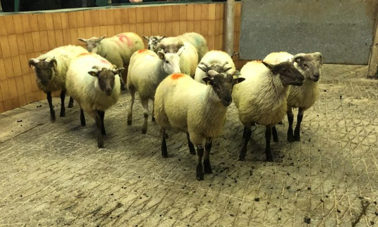 Finishing store lambs on a concentrate diet? What you need to know