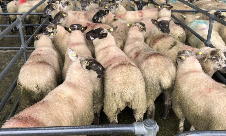 Sheep mart trade 2019 vs. 2020: Heavy lambs dearer by more than €20/head in cases