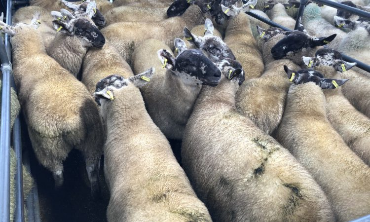 'If you can't get a good price from the factory, go to the mart instead with your lambs'
