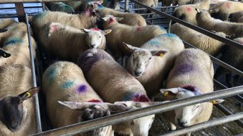Lamb prices 'push on amid tight supplies and strong demand'