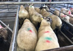 Prices: Strong trade sees lambs reach €130/head at Loughrea