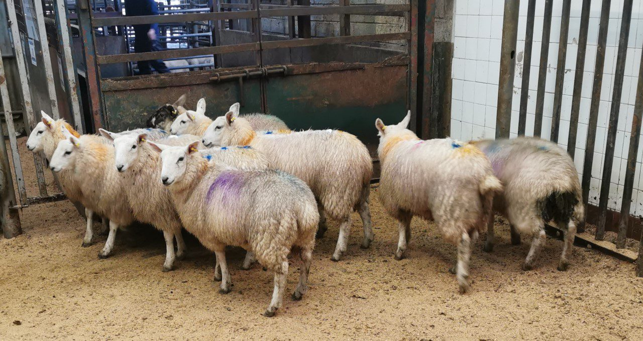 Spring lamb prices on the rise with 'quotes up to €7.80/kg offered'