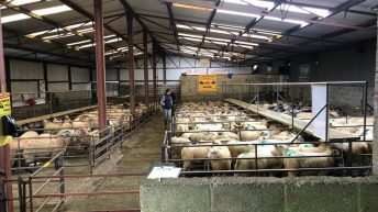 Heavy lambs dominate the sale at Delvin as prices reach €133/head