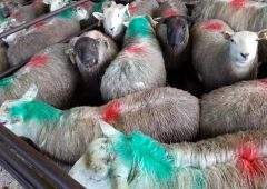 Sheep kill: Throughput up slightly from this time last year
