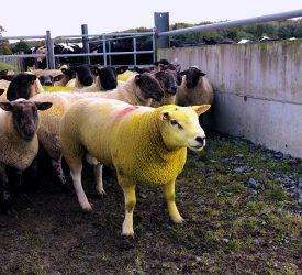 Management of rams post-breeding