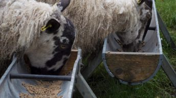 'Going in early with meal, if silage quality is poor, key to avoiding BCS loss'