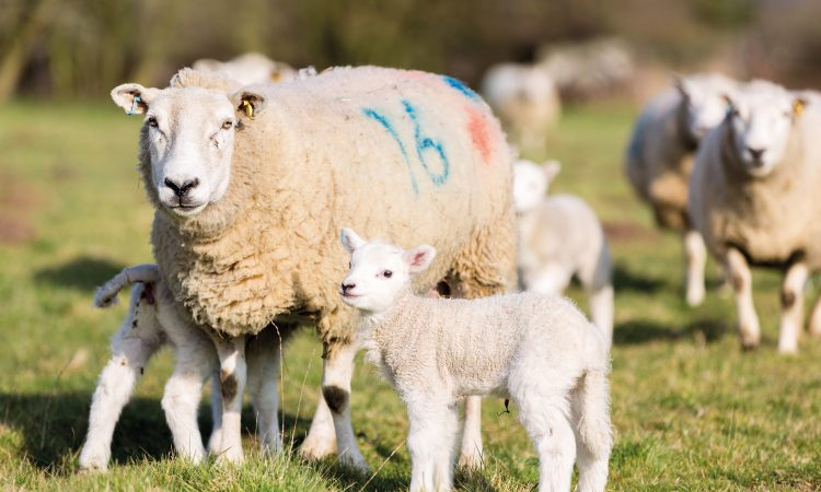 Give lambs the best start by getting ewe nutrition right