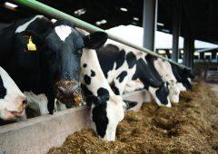 Actisaf活酵母提高早期泌乳奶牛饲料利用率5.5%