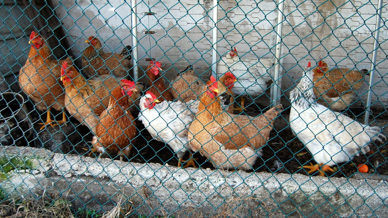 'We are aware we need to do more': MEPs debate banning caged farming in EU
