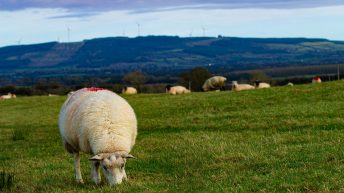 '2021 forecasted to be an even a better year for sheep farmers'