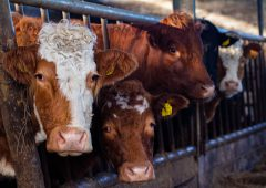 Beef trade: Factories remain hungry, as supplies continue to tighten