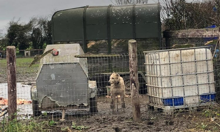 Man arrested, 23 dogs and 4 horses seized following Garda search