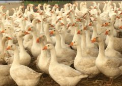 Investigation finds 'unsupervised food business preparing to slaughter geese'