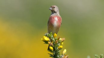 Report links decline in linnets and reed buntings to reduction in arable land in NI