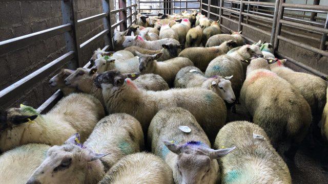 Northern sheep trade: Lamb prices strengthen