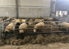 Getting to grips with lameness issues as housing ewes looms for many farms