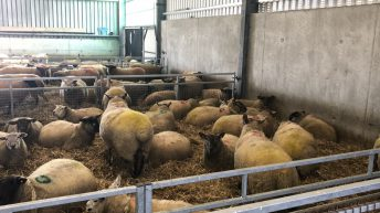 Housing: How much lying and feed space do my ewes need?