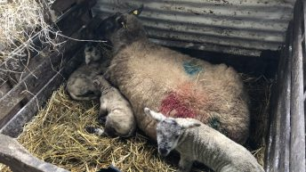 'Infection and dystocia the 2 main causes of lamb mortality'