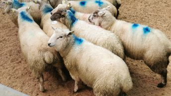 Sheep trade: 30c/kg difference in base price for lambs opens up between factories