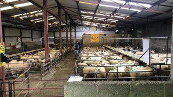 Stores and cull ewes dominate the sale at Delvin Mart