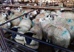 Sheep marts: Ferocious appetite for lambs sees prices reach €155-163/head