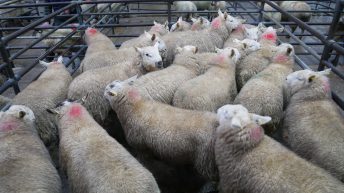 Heavy lamb prices up €10-15/head at Blessington, as lambs top €153/head