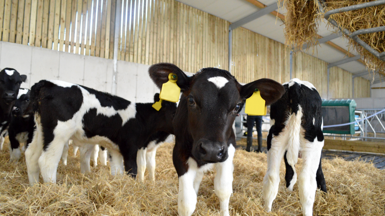 Contract calf rearing will have significant TB testing implications